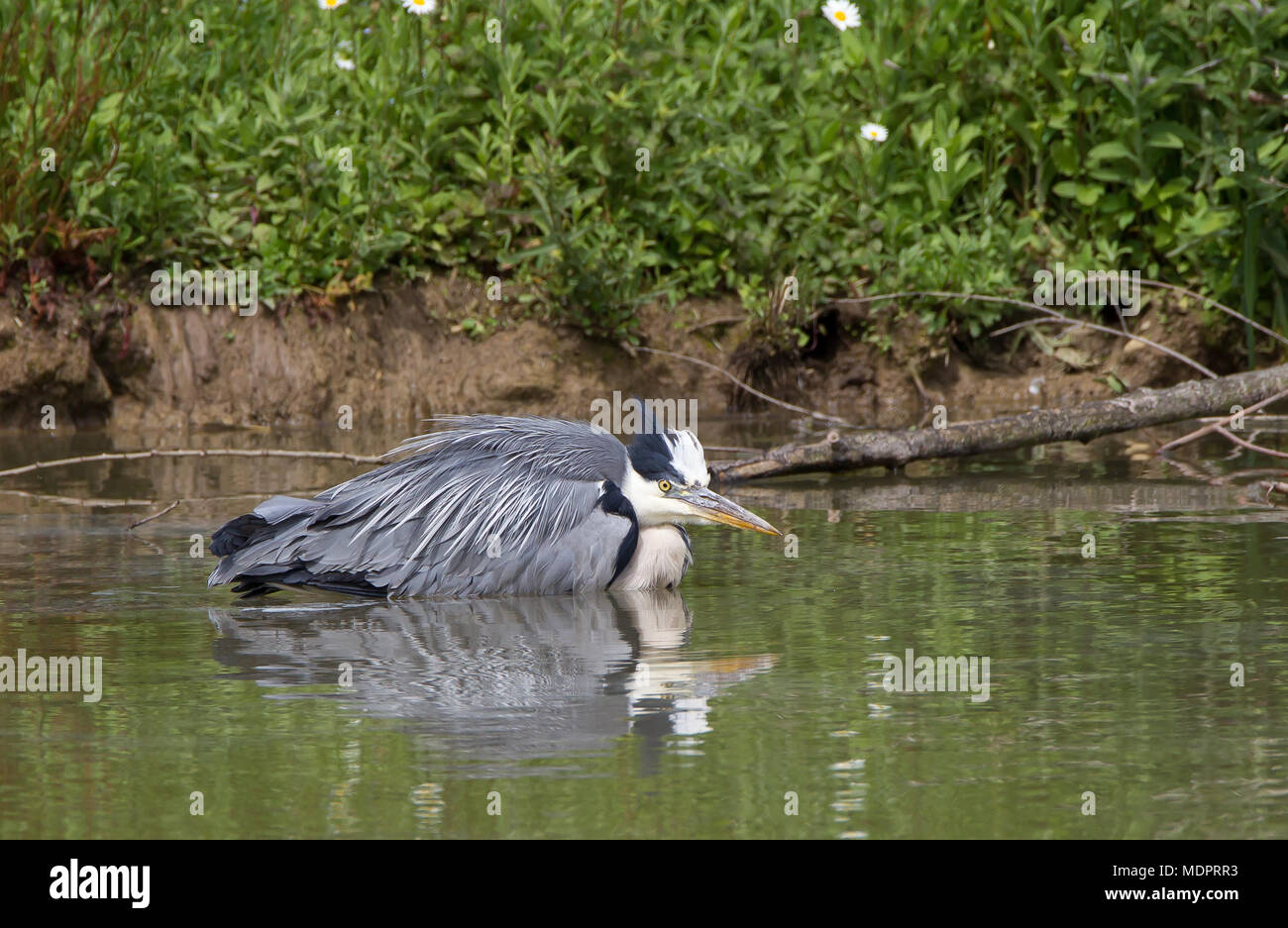 Detailed close up, side view of single adult grey heron (Ardea cinerea) crouching down, creeping stealthily through the water, hunting fish for dinner. - Stock Image