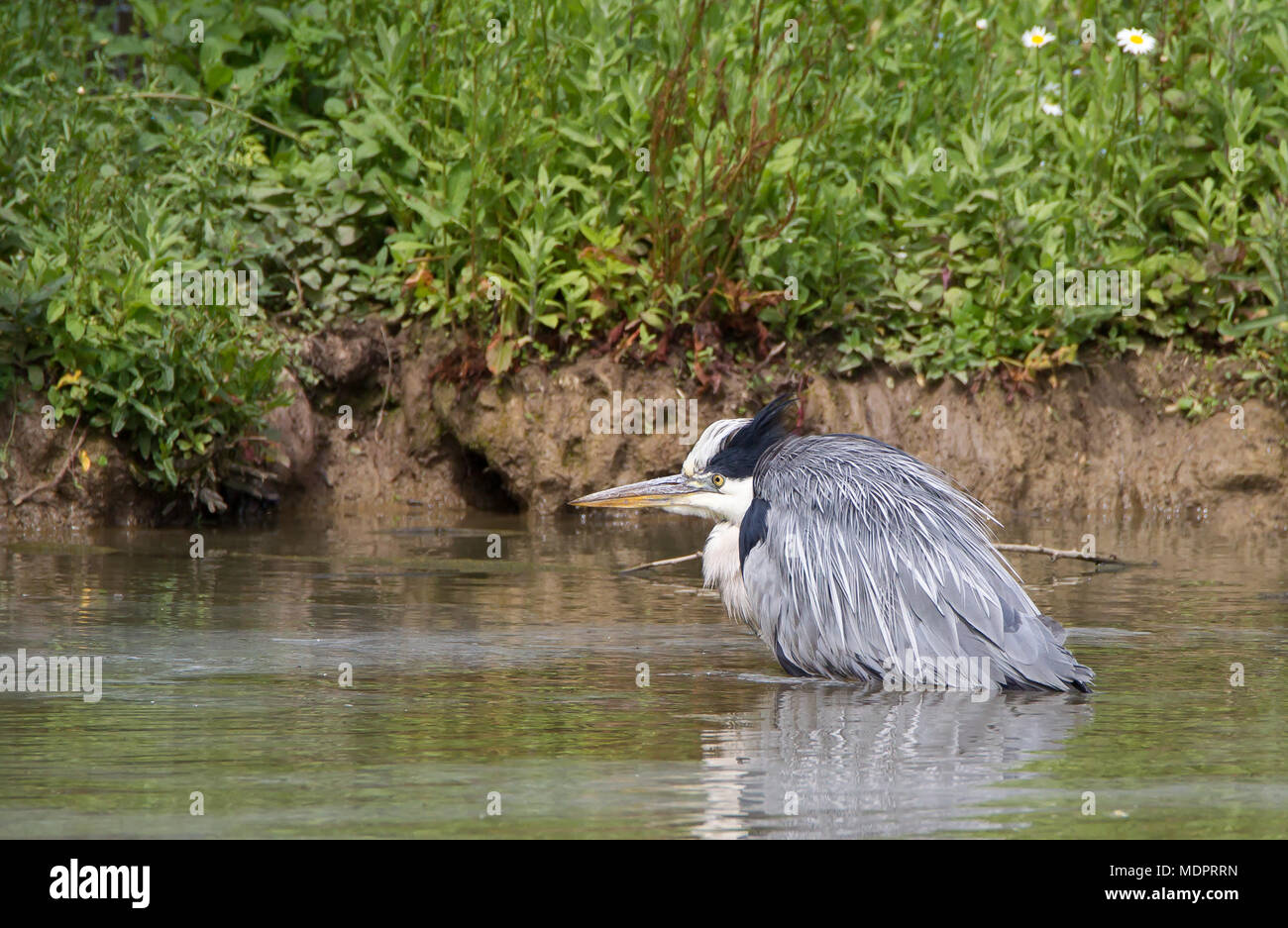 Detailed close-up side view of isolated UK grey heron bird (Ardea cinerea) wading in water, crouching down, creeping stealthily, hunting for fish. - Stock Image