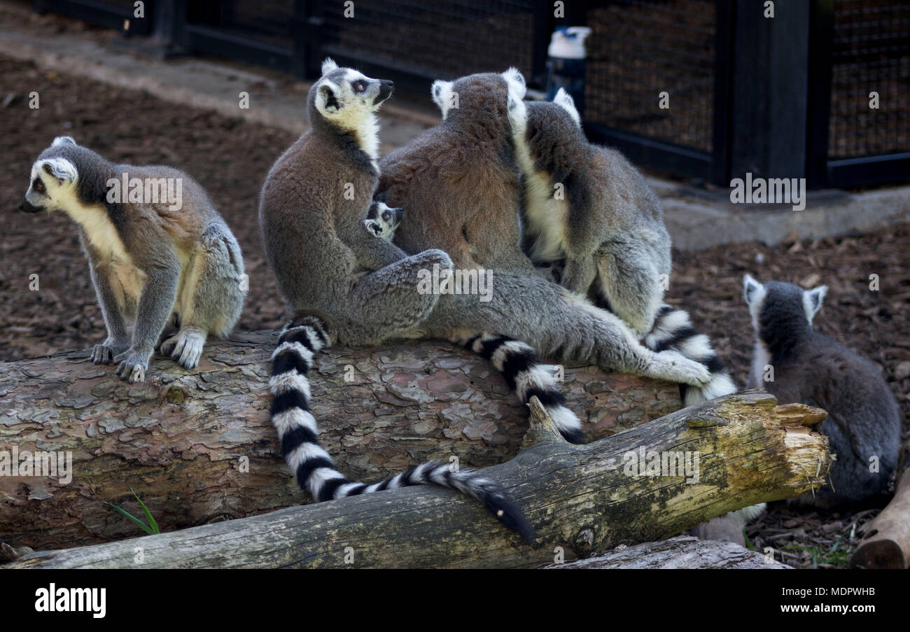 A Conspiracy of Ring tailed lemurs sat on a log waiting for food, Yorkshire, UK - Stock Image