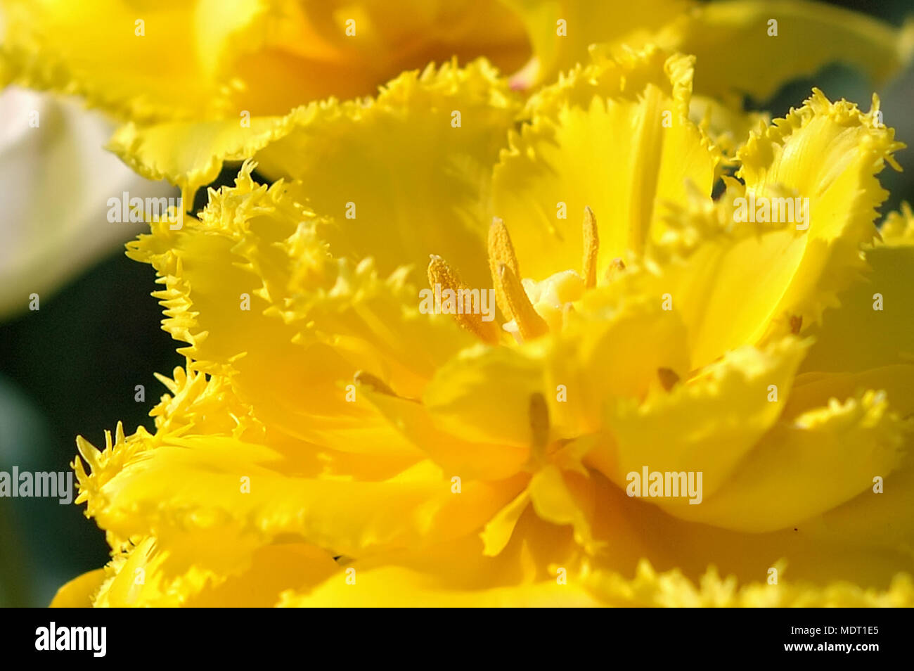 Yellow Tree Flowers Cluster Stock Photos Yellow Tree Flowers
