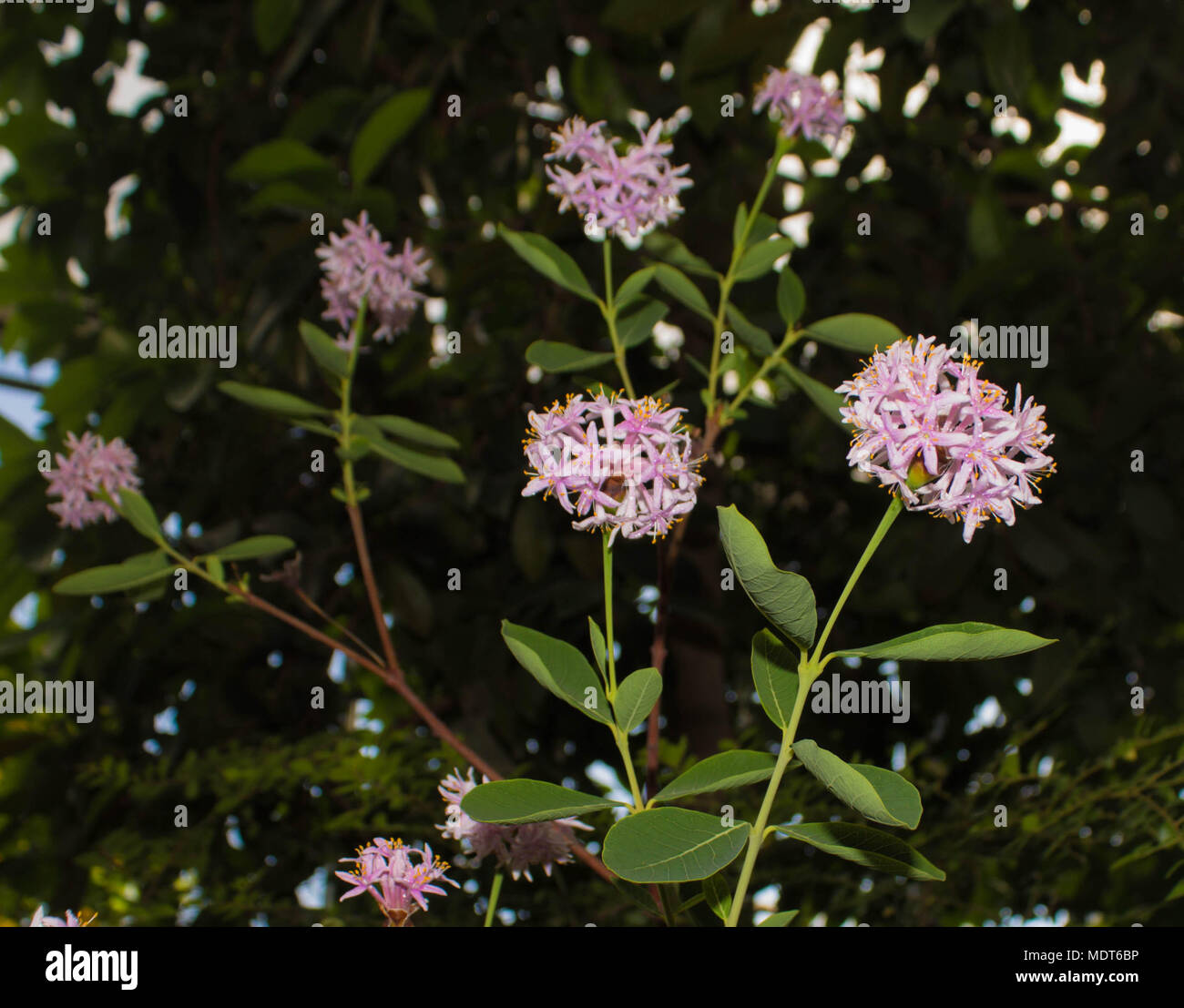 Round Light Pink Flowers On Green Foliage Background Subtropical