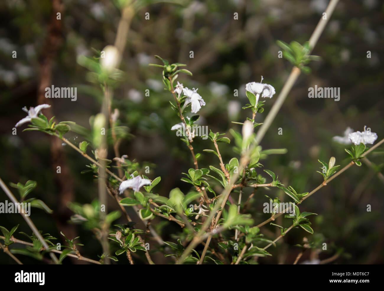 Small White Flowers On Twigs With Green Foliage Subtropical Plant
