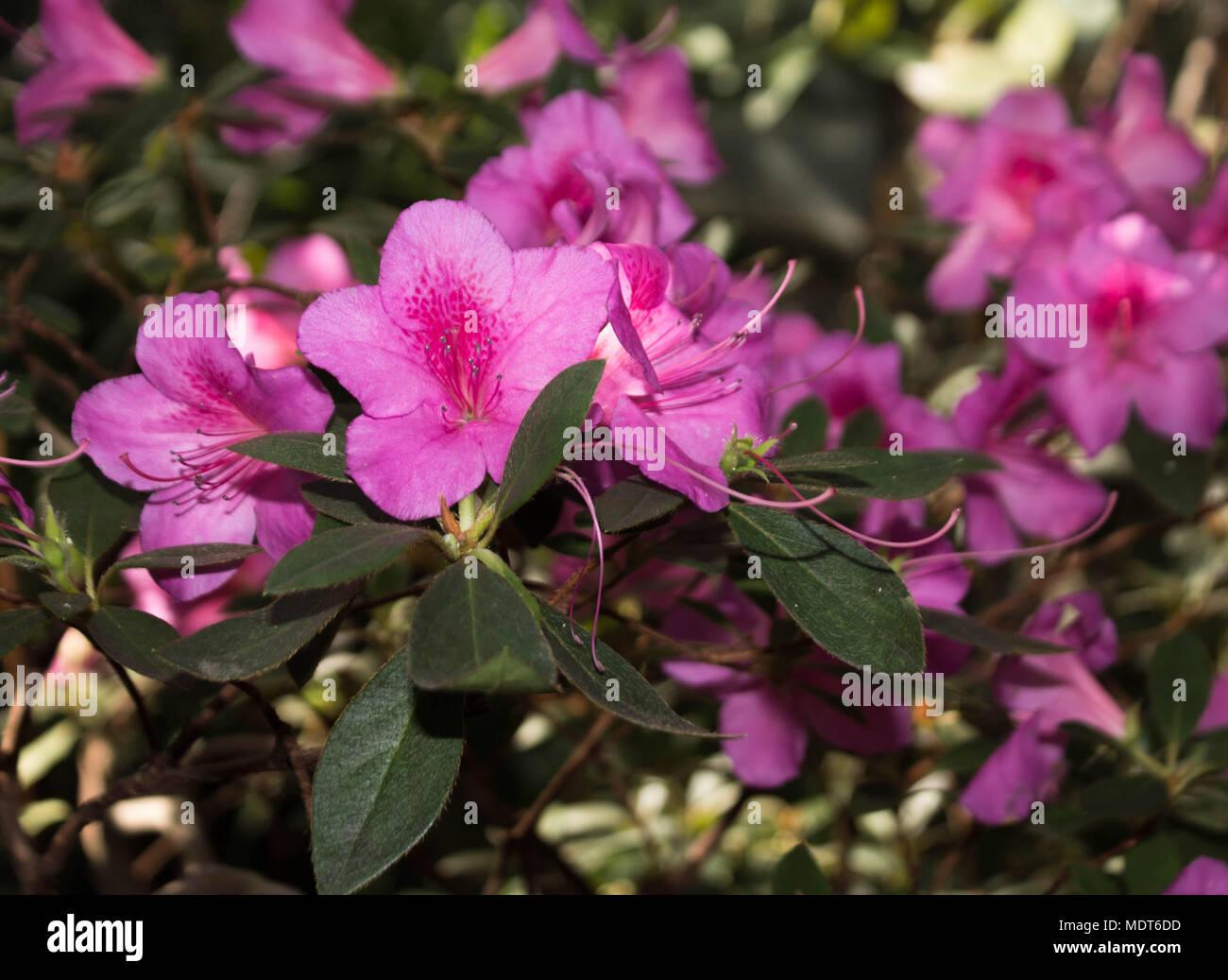 Big pink flowers subtropical plant stock photo 180626137 alamy big pink flowers subtropical plant mightylinksfo