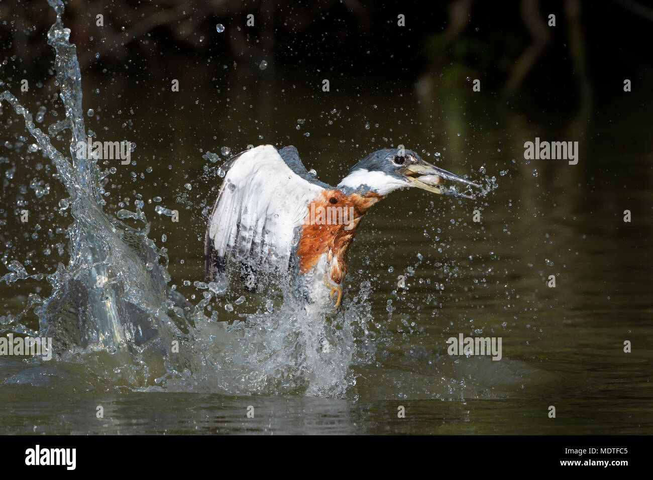 Action shot of ringed kingfisher (Megaceryle torquata), diving up with captured fish, Brazil, Pantanal - Stock Image