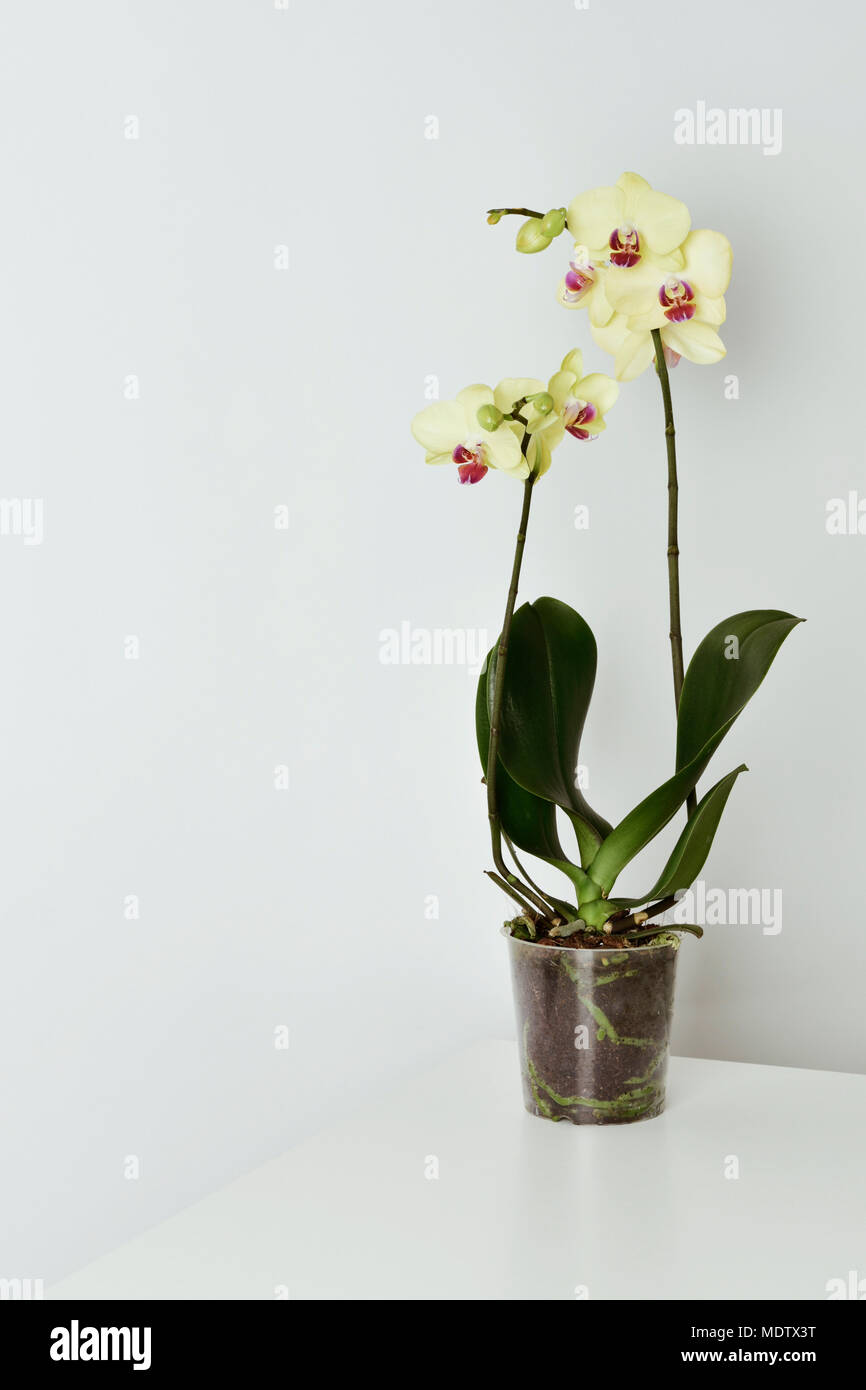 A phalaenopsis orchid with different yellow flowers in a transparent a phalaenopsis orchid with different yellow flowers in a transparent plant pot placed on a white table against a white background mightylinksfo