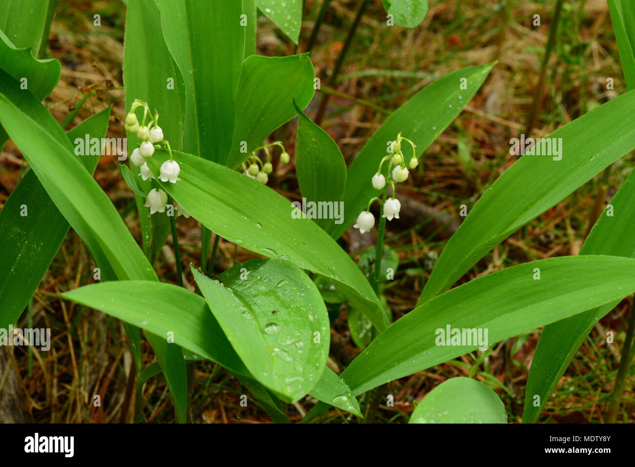 Lily Flowers With Raindrops Stock Photos Lily Flowers With