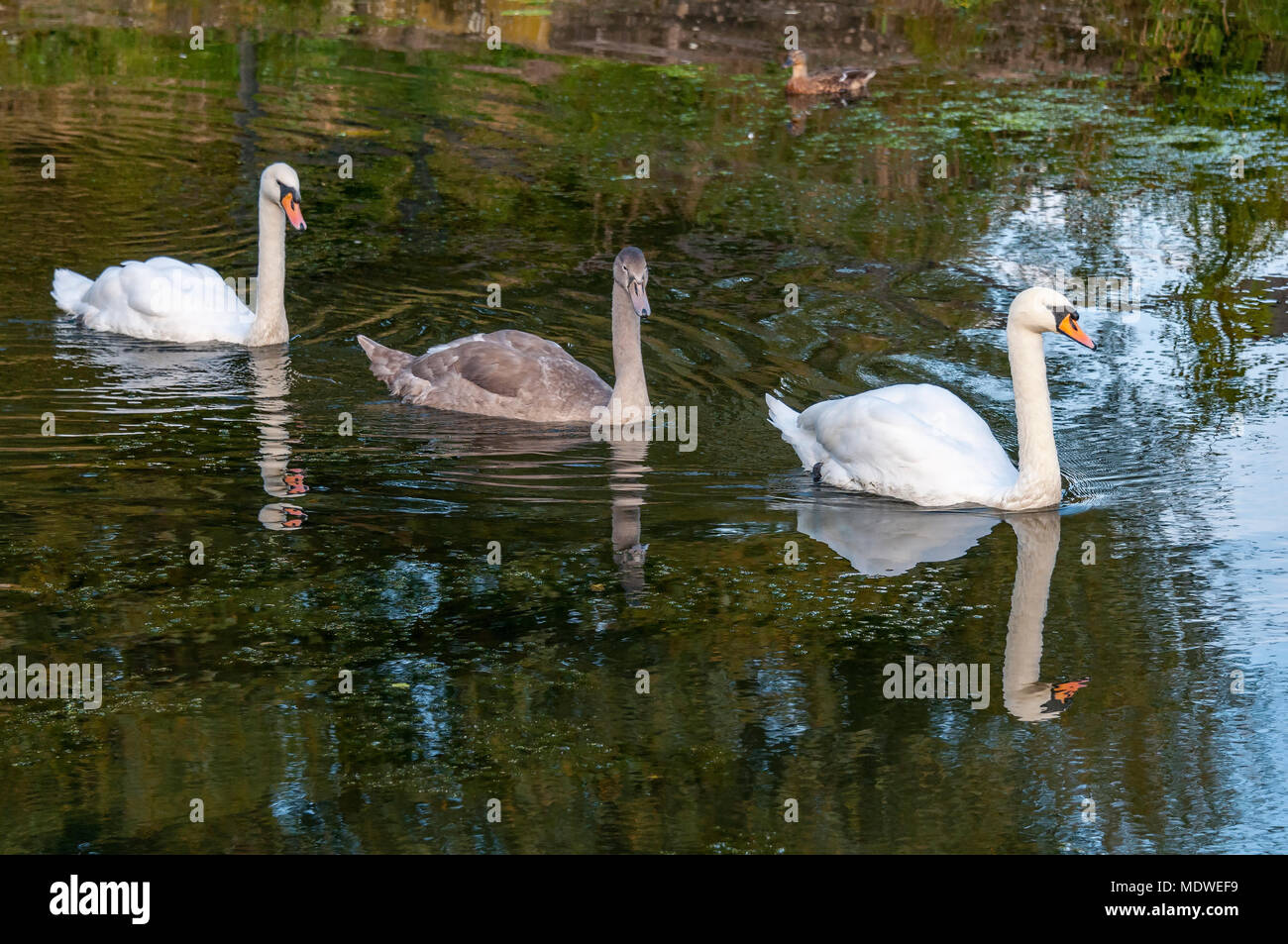 Family of swans Pen cob and cygnet. - Stock Image