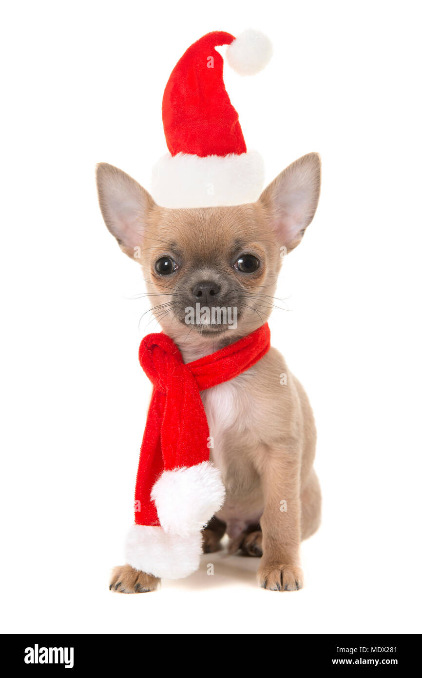 fc829b665c89f Cute sitting chihuahua puppy dog looking at camera wearing a red and white  christmas scarf and hat isolated on a white background