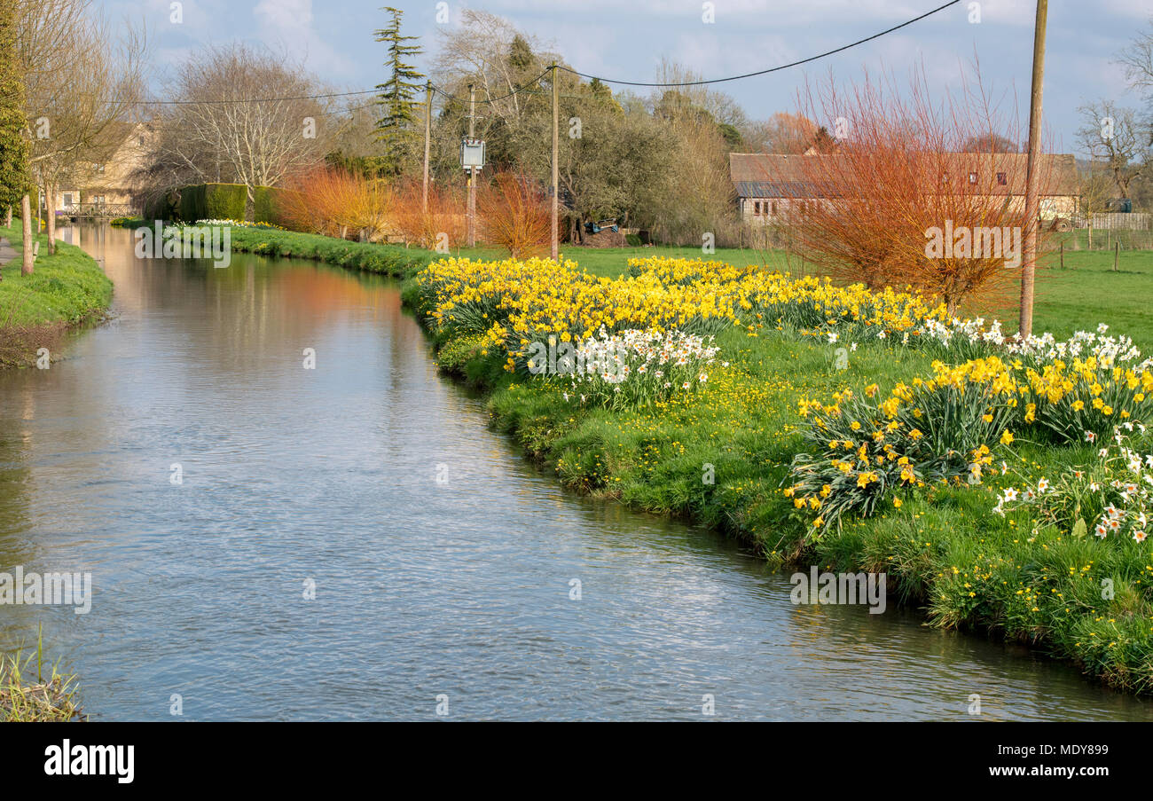 Daffodils in spring along the river windrush in Bourton on the Water, Cotswolds, Gloucestershire, England - Stock Image