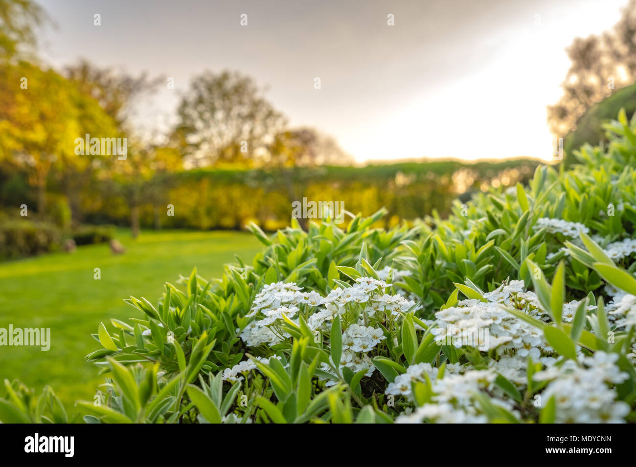Shallow focus, summertime view of a delicate, white flower shrub and blossom seen in a large and well maintained private garden Stock Photo