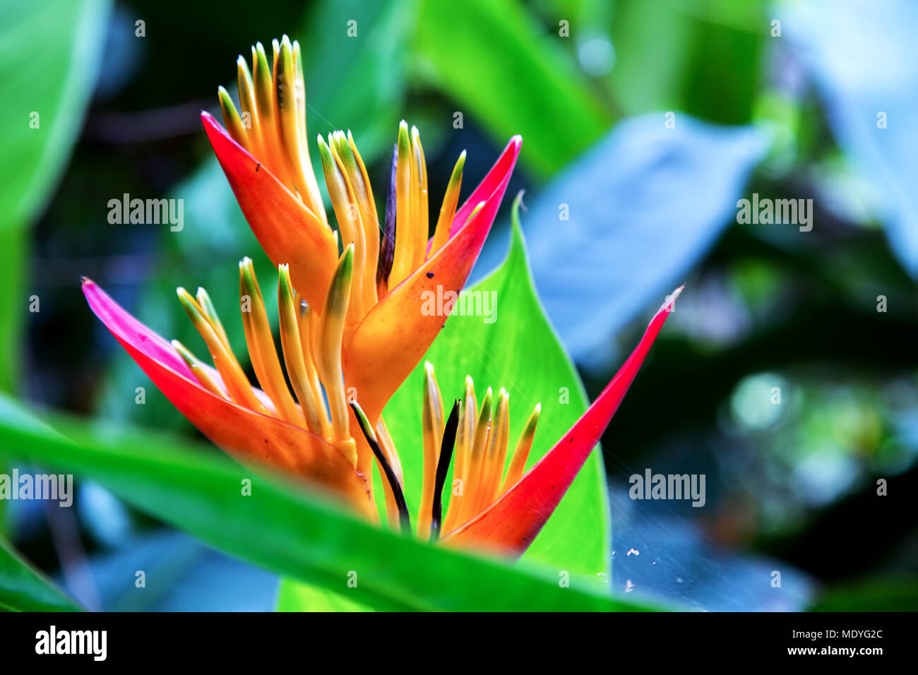 The heliconia flower really looks like flames. - Stock Image