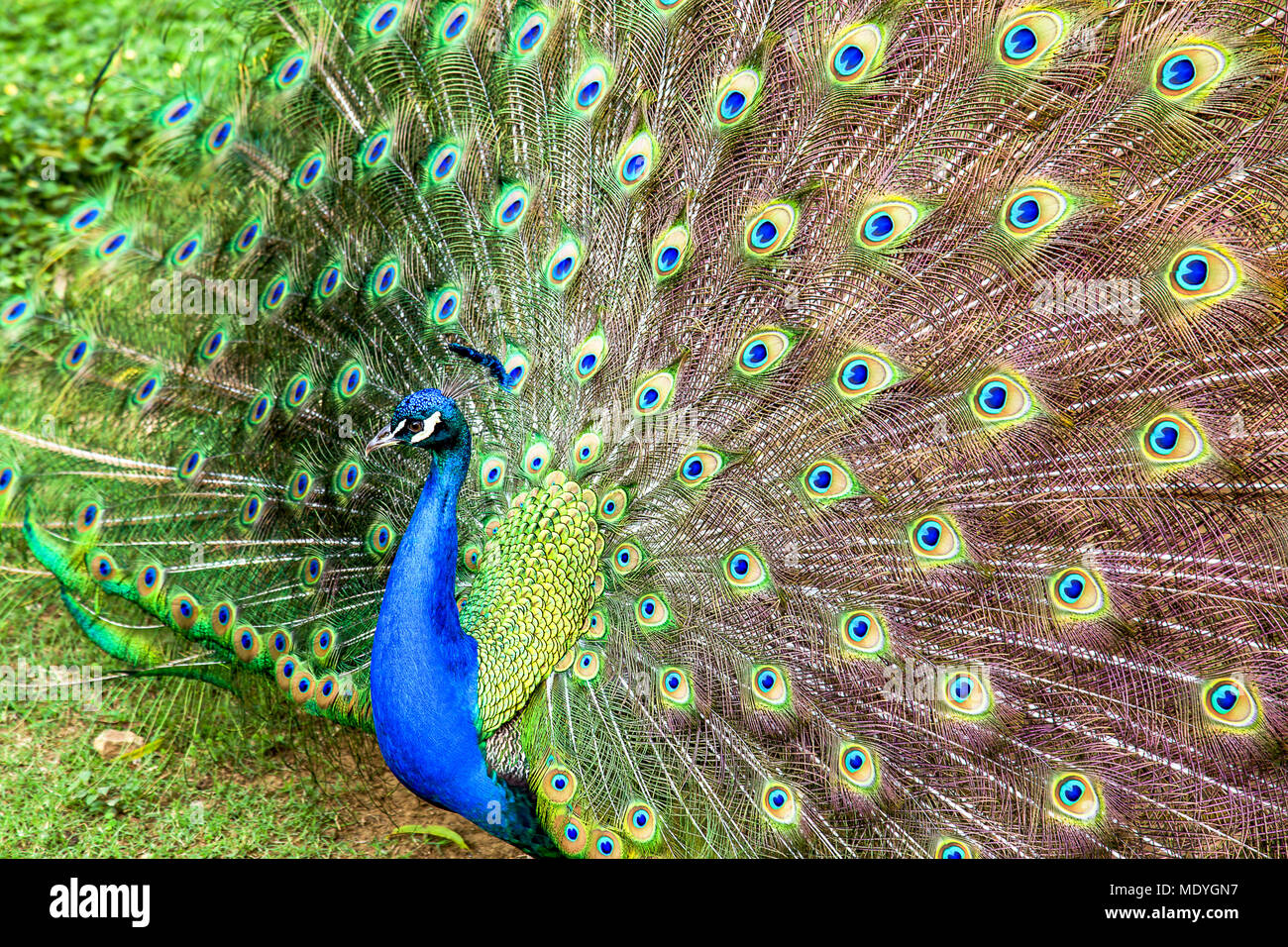 The beautiful pattern of the peacock feather display. Stock Photo
