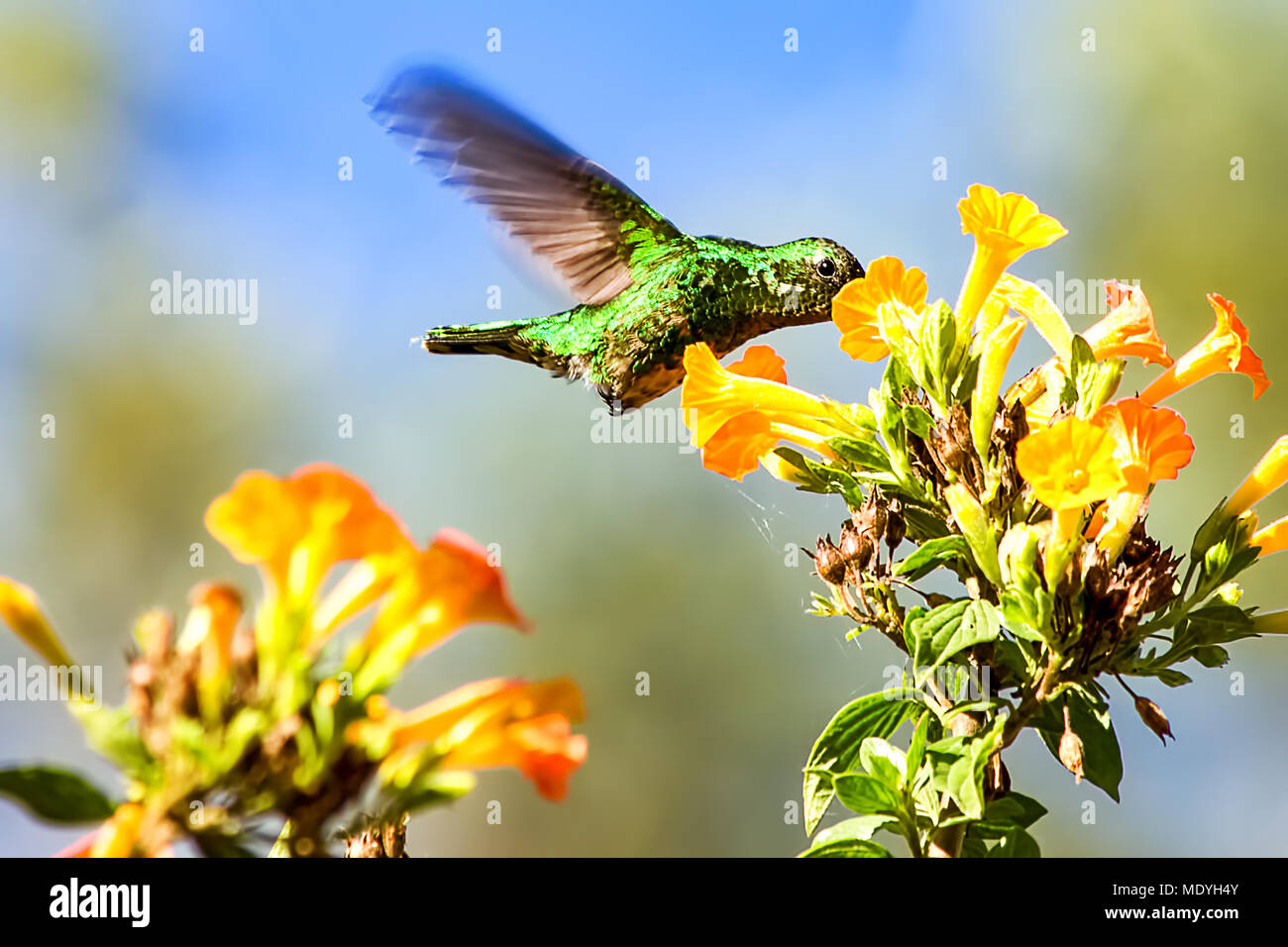 A beautiful hummingbird feeds from a flower. - Stock Image