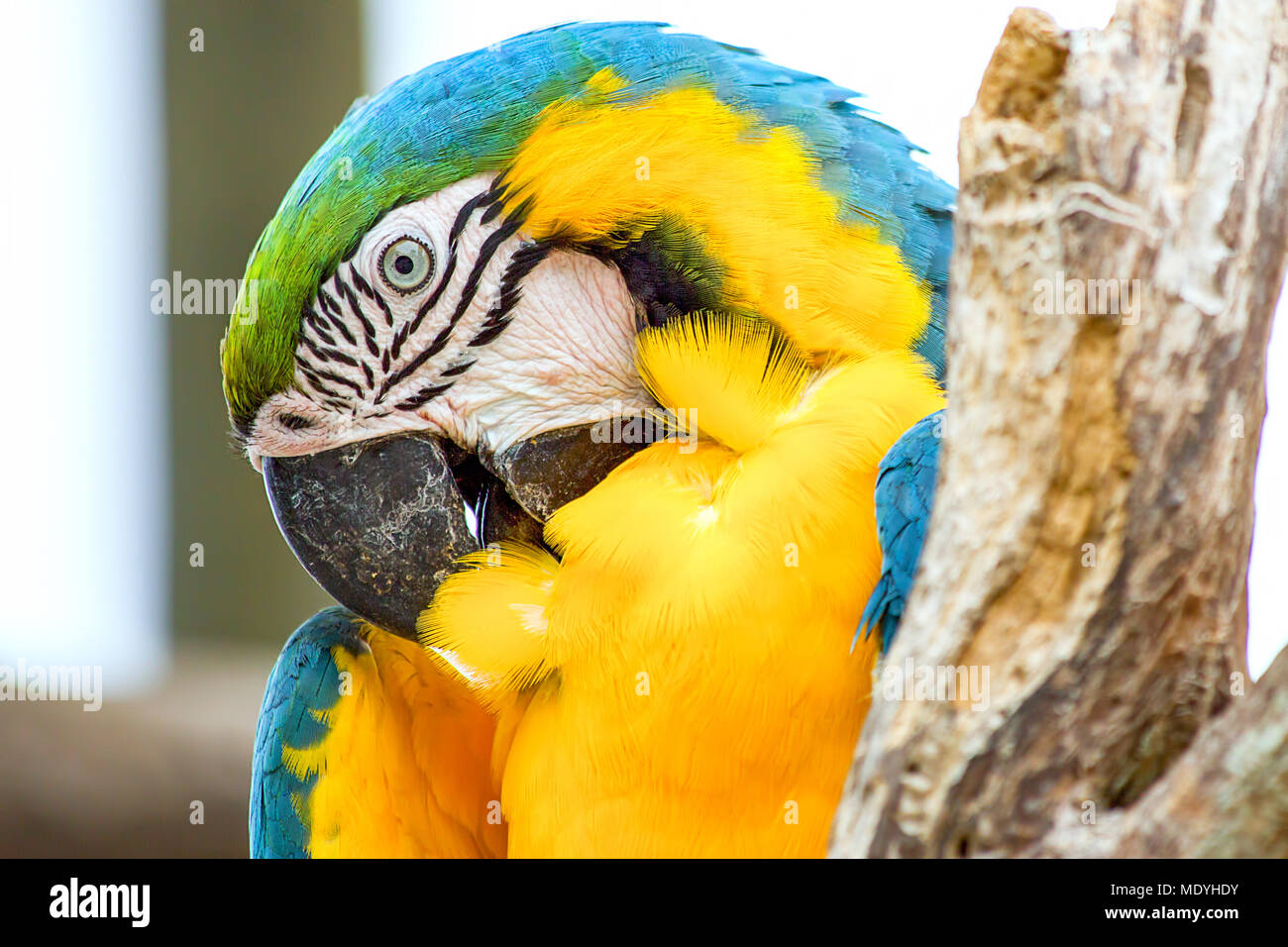 A yellow and blue macaw grooms his feathers. - Stock Image