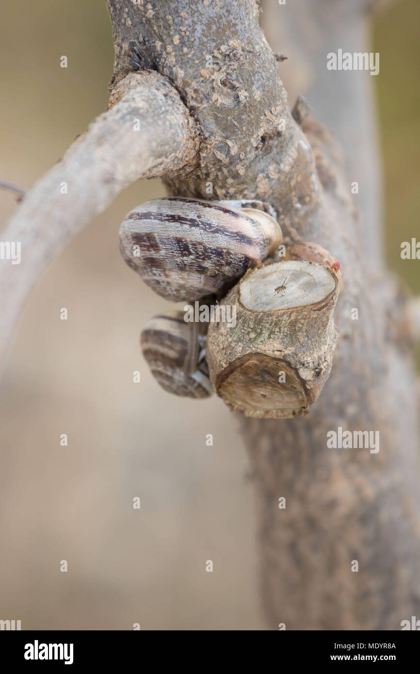 Three snails on tree branch off the ground, Polis, Cyprus, Mediterranean - Stock Image