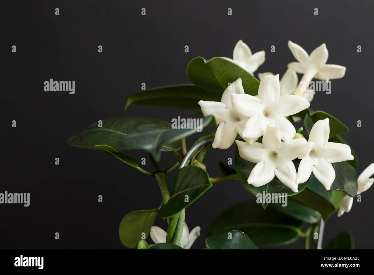 Jasmine Flower Plant With Green Leafs On Black Background Stock