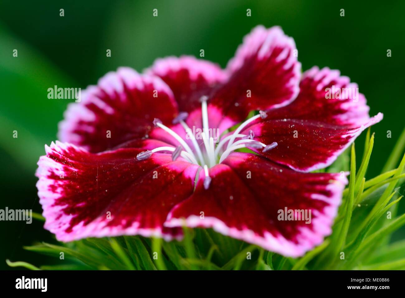 Macro shot of a pink and white carnation in bloom (Dianthus barbatus) - Stock Image