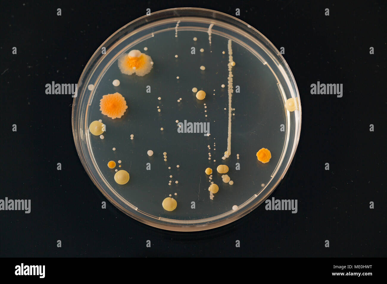 Cultures growing on Petri dish. - Stock Image