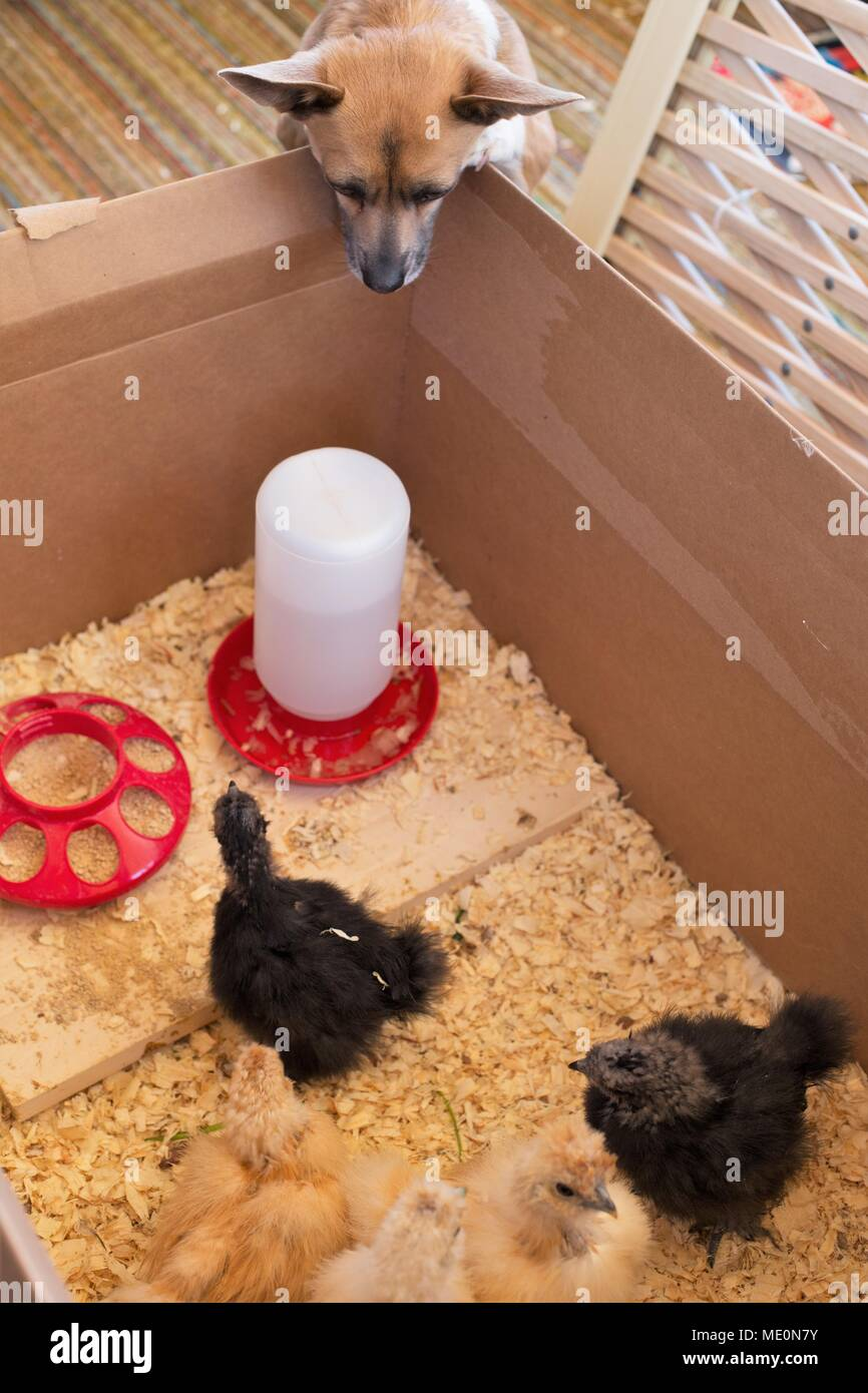 A dog peeking over the edge of a box of baby chicks. - Stock Image
