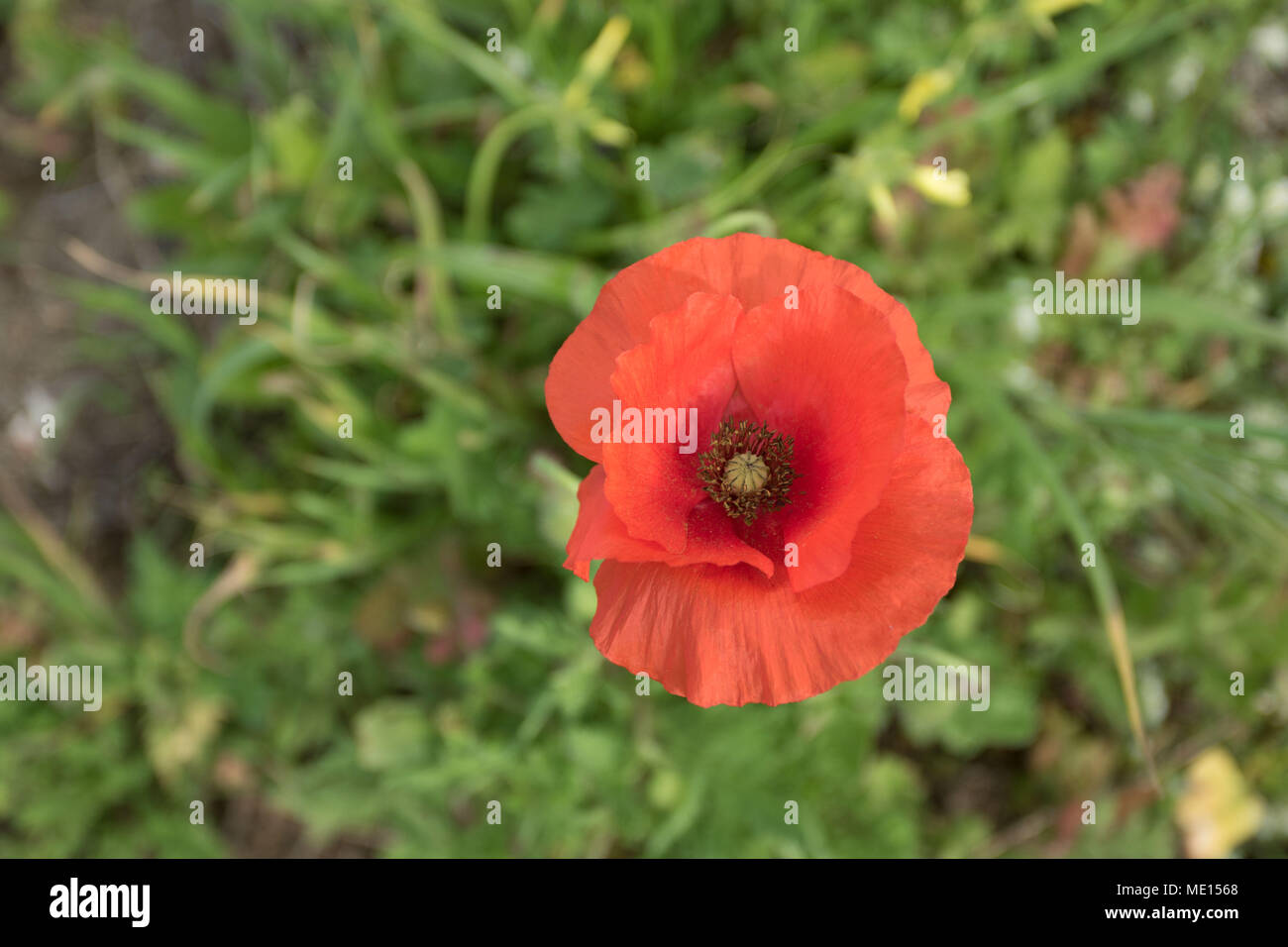 single red field poppy on the coastal walk, paphos, cyprus, europe - Stock Image
