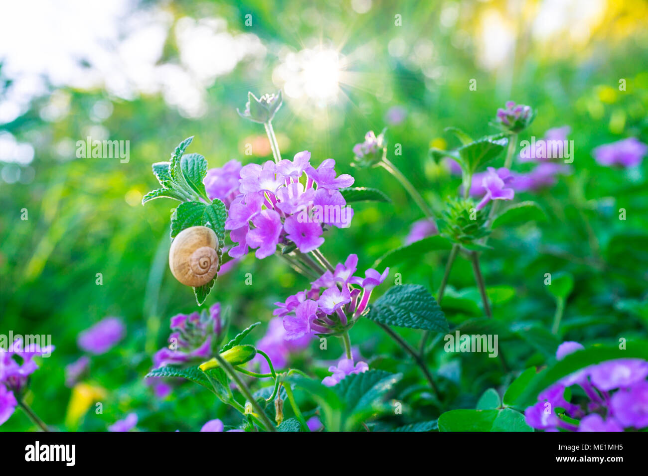 Little snail on the big fresh green bush with beautiful purple little snail on the big fresh green bush with beautiful purple flowers in orchard abstract floral background beauty of summer nature mightylinksfo