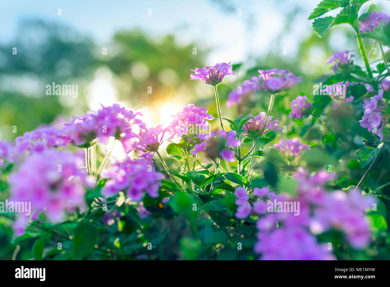Beautiful Floral Bush In The Orchard In Sunny Day Fresh Green Shrub