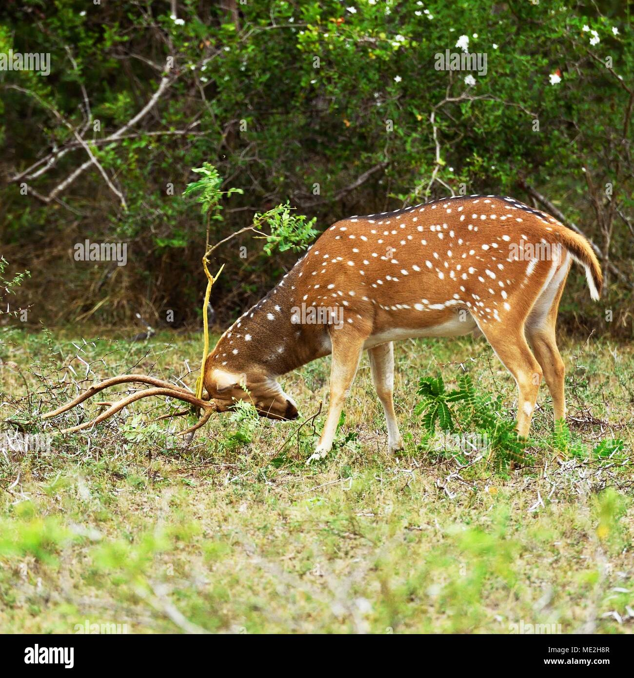 Chital (Axis axis), buck removes the dead bast by rubbing on branches, Wilpattu National Park, Sri Lanka - Stock Image