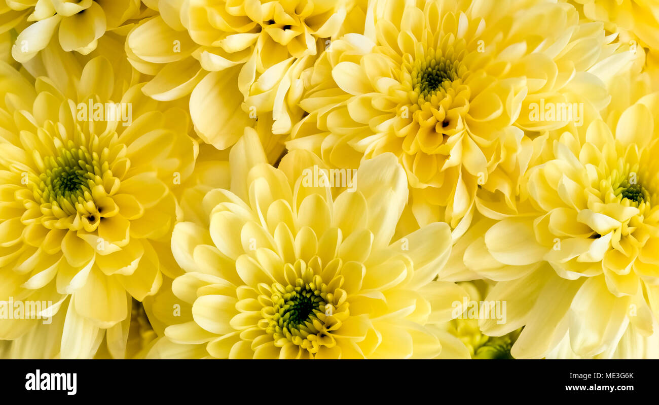 A Beautiful Bunch of Yellow Chrysanthemum Heads all bunched together. The image has a soft ethereal feel and would be a good image for a florist. - Stock Image