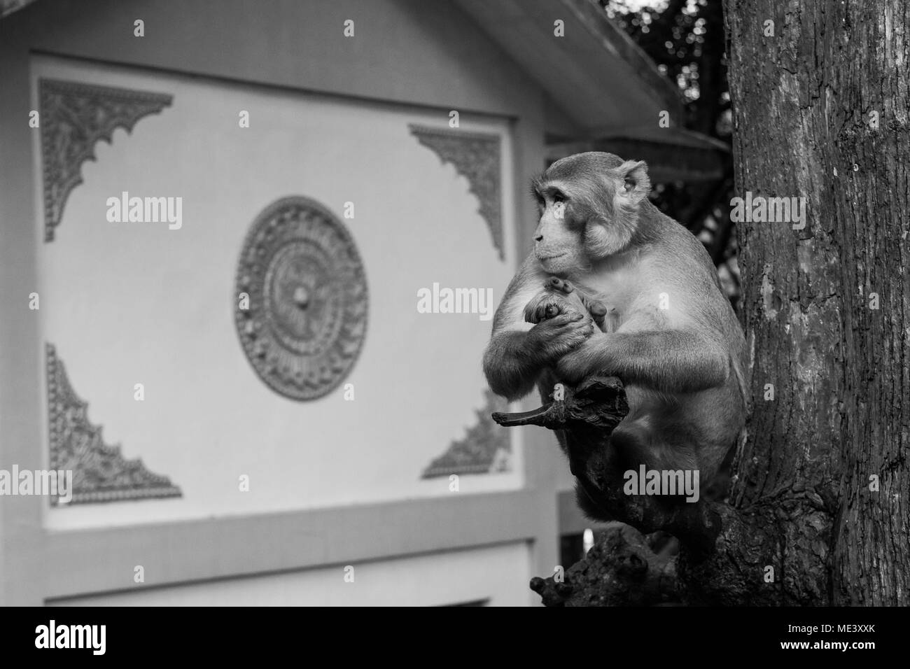 A wild adult macaque monkey, encountered at Mount Popa, sitting on a tree branch, calm as if meditating. resting, chilling on stick. Burma, Myanmar - Stock Image