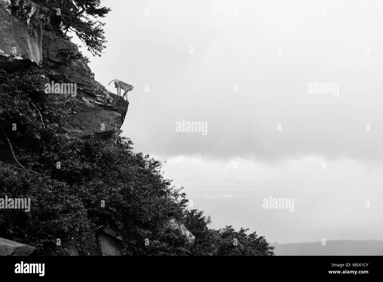 Adult macaque monkey alone on cliff face of Mount Popa, climbing on top of a rock and clouds, looking down upon Burma Myanmar South East Asia - Stock Image