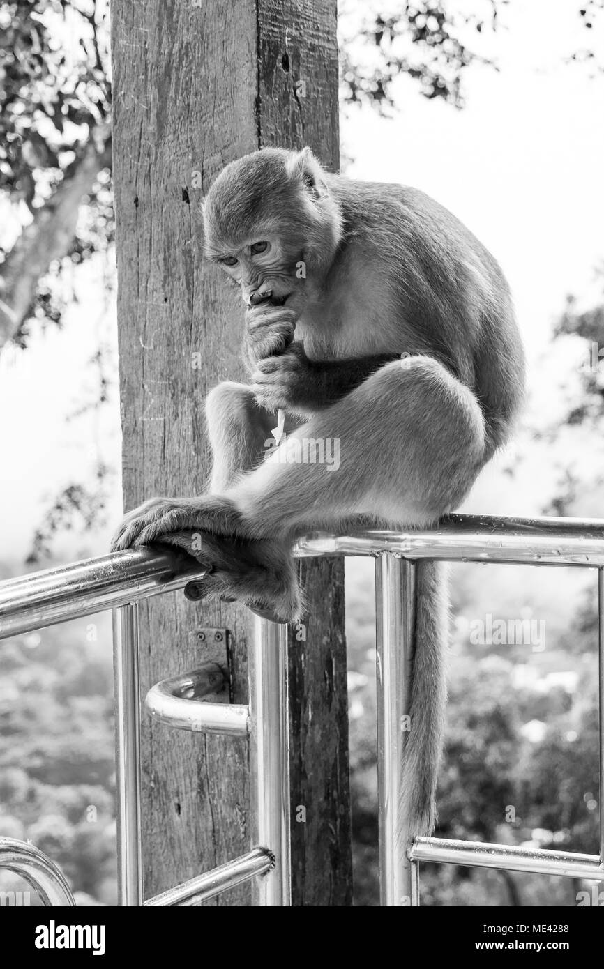 Adult macaque monkey, sitting crouched on a railing in Mount Popa, eating nuts and corn wrapped in newspapers, fed by tourists, frown. Burma, Myanmar Stock Photo
