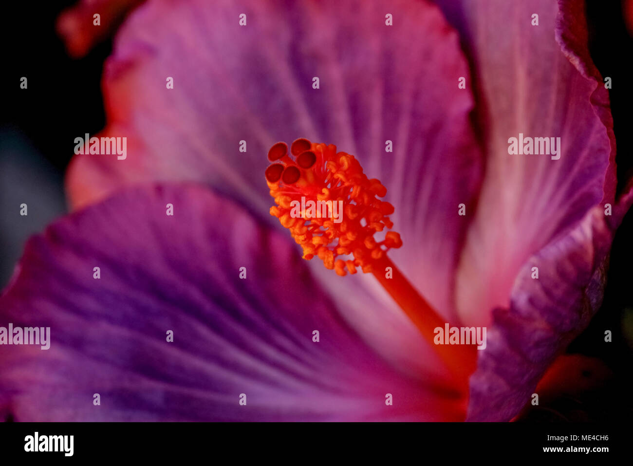 Closeup of the pistil of a perfect purple Hibiscus flower - Stock Image