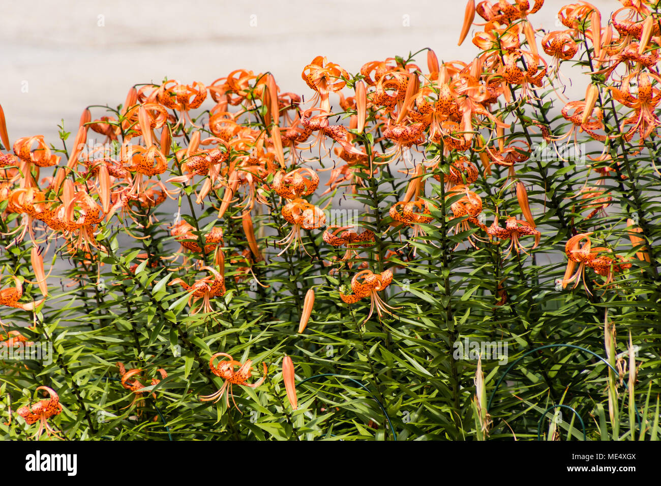 The Tiger Lily Garden In Now In Full Bloom Stock Photo 180817530