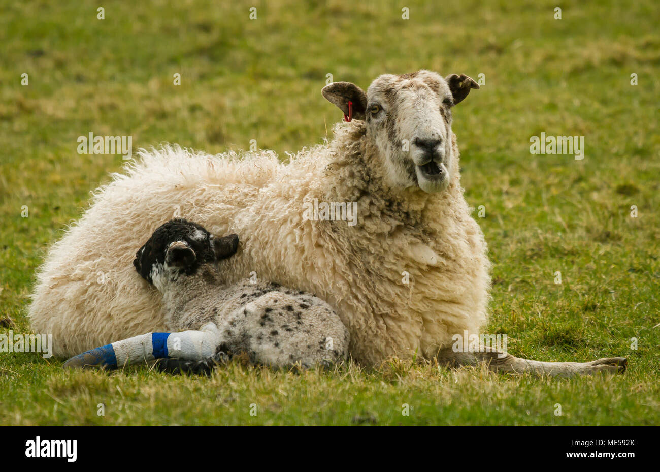 Swaledale Ewe, sheep with her lamb which has a broken leg, Yorkshire Dales, UK.  Ewe is facing right and laid down in green grass.  Landscape - Stock Image