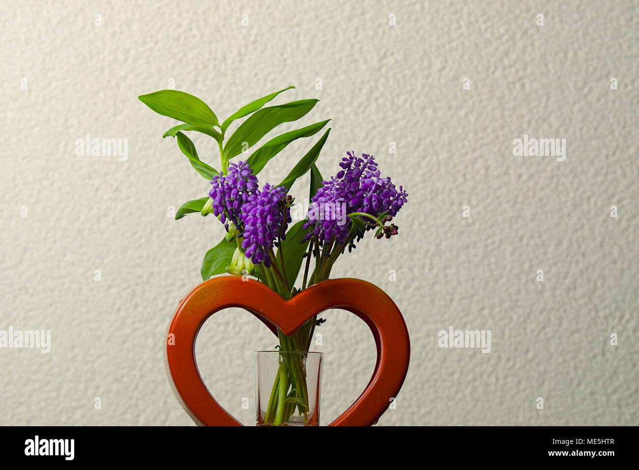 Die krautige Hyazinthe (Hyacinthus) gehört zur Pflanzenfamilie der Spargelgewächse und zählt Hyazinthen - Stock Image
