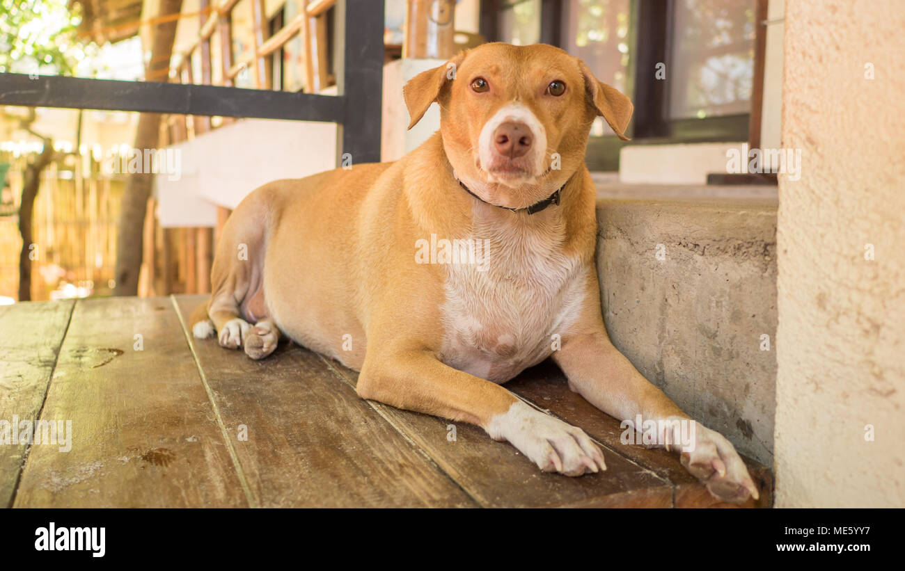 a lazy red and fat dog lies on the threshold of the house stock rh alamy com fat dog hot sauce fat dog hot sauce online