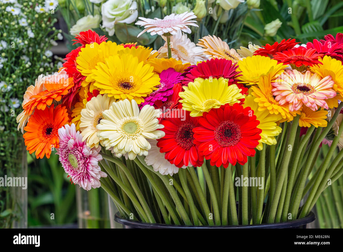 Gerbera of different colors for sale at Dutch flower store Stock ...