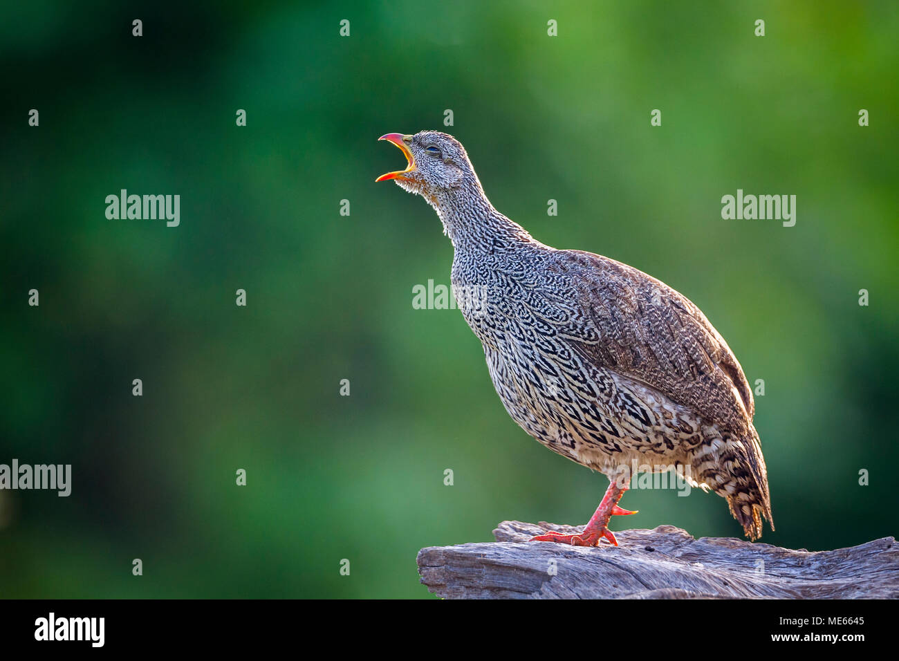 Natal francolin in Mapungubwe national park, South Africa ;Specie Pternistis natalensis family of Phasianidae - Stock Image