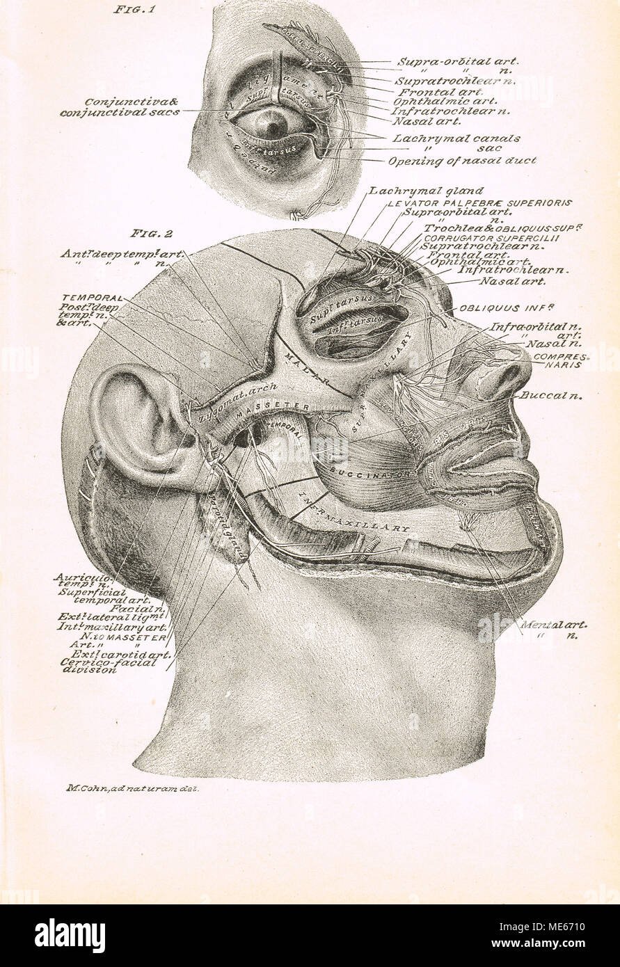 19th century facial cross section - Stock Image