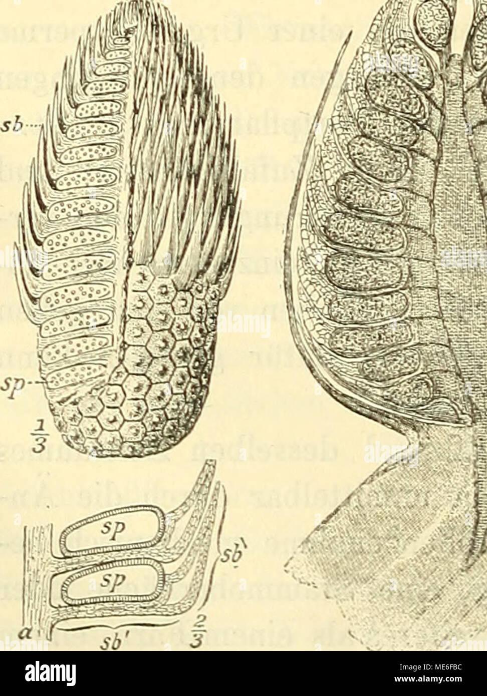 . Die geologischen grundlagen der abstammungslehre . ^ Fig. 58. Ein Zapfen von Lepidodendron aus dem Kar- bon (links) und von Pinus montana, einer Konifere (rechts). Nach (Schimpee) Steinmanx und (Steas- buegee) Exglee-Pbantl. - Stock Image