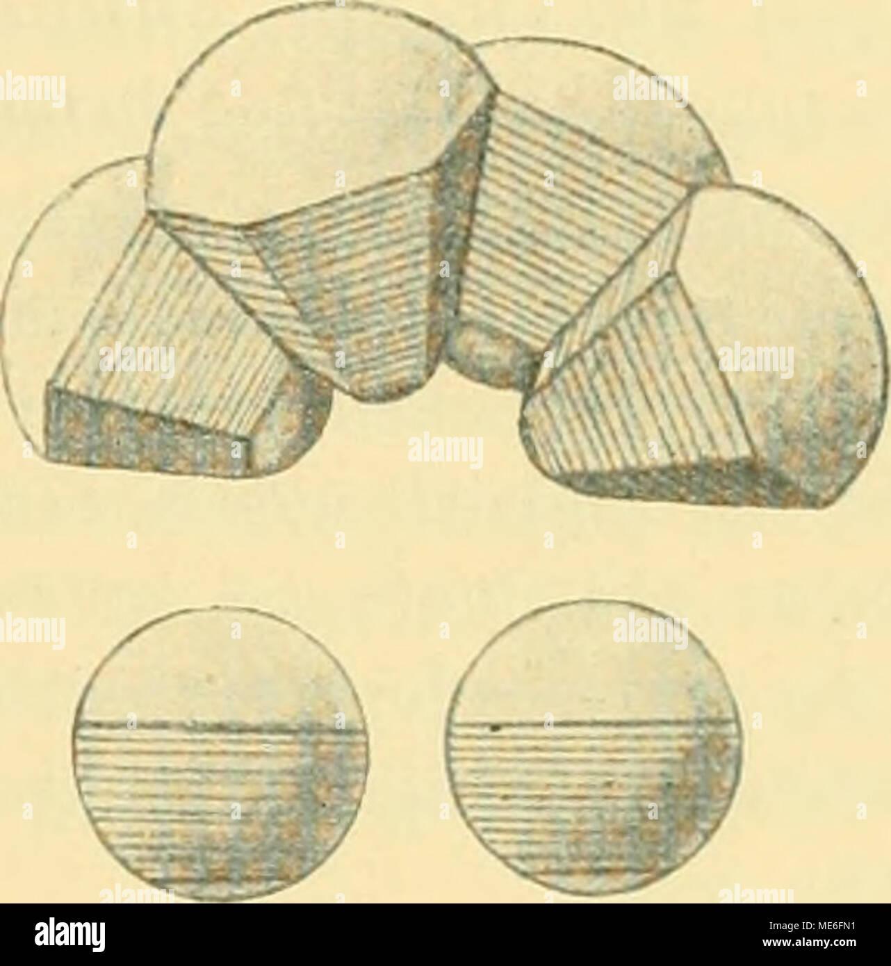 . Die Geschichte der T-Riesen von Ascaris megalocephala als Grundlage zu einer Entwickelungsmechanik dieser Spezies . 1 und 2 Schemata eines schwach und eines stark gekrümmten Epithels; darunter isolierte Zellen. Die Attraktionszonen sind schraffiert. Allein die Voraussetzung dieser relativ sparsamen Hypothese trifft bei den Epithel- zellen von Ascaris ganz und gar nicht zu. Schon in der normalen Ontogenesis geschieht es hie und da, daß innerhalb eines und desselben Stadiums der Krümmungsgrad des ektoder- malen Epithels lokal verändert wird (zur Strassen 1896a, p. 69), so daß die gleichen Zell - Stock Image