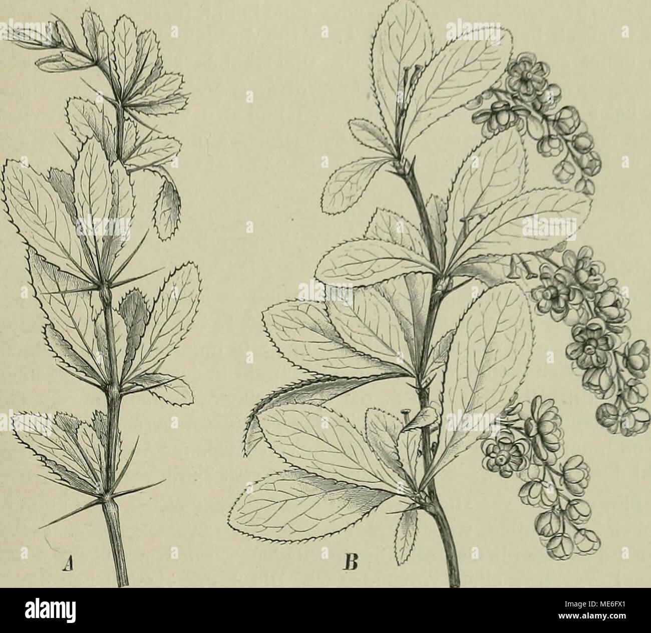 Die Natürlichen Pflanzenfamilien : nebst ihren Gattungen und ...