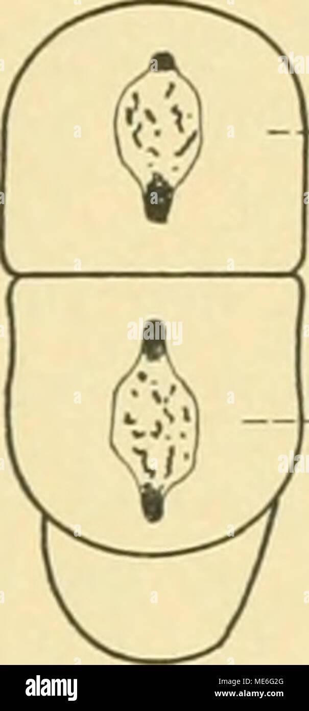 . Die Geschichte der T-Riesen von Ascaris megalocephala als Grundlage zu einer Entwickelungsmechanik dieser Spezies . -Ä —B Zwei Stadien IV von univalens, konservierte Präparate. Von oben gesehen. - Stock Image