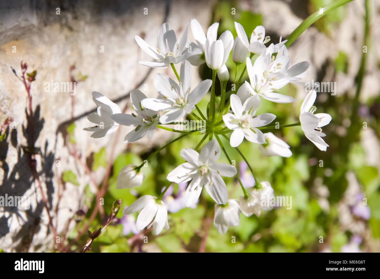 Wild White Flowers And Wall In The Back Stock Photo 180853312 Alamy