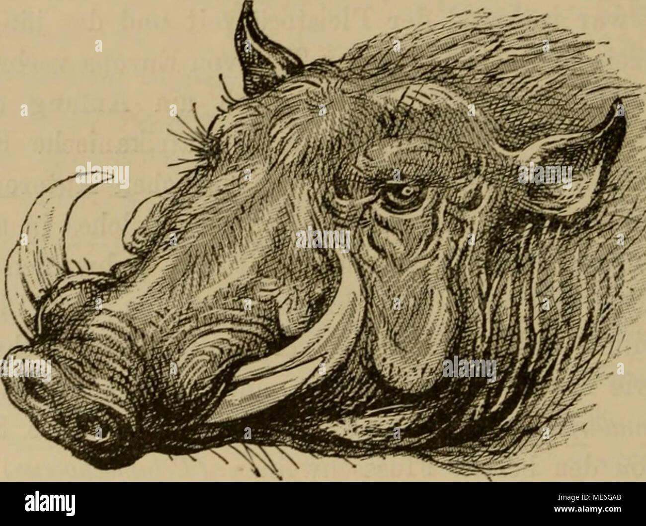 . Die geographische Verbreitung und geologische Entwickelung der Säugetiere . Flg. r»»;. Kopf eines Warzenachweing (Phacochoerui aelhiopicus). aus den gewöhnlichen Schweinen entwickelt haben. Wilde Kamele sind in der Region unbekannt, dagegen sind die Tragulidae in Westafrika durch das Wasserzwergmoschus- tier vertreten. Es ist die einzige lebende Art der Gattung Dorcatherhim, von der fossile Arten im indischen Pliocän und im europäischen Miocän vorkommen. Die Vorfahren der Art sind vermutlich von Indien her in die Region eingedrungen. Die zweite Familie von Huftieren, die jetzt auf Aethiopien - Stock Image