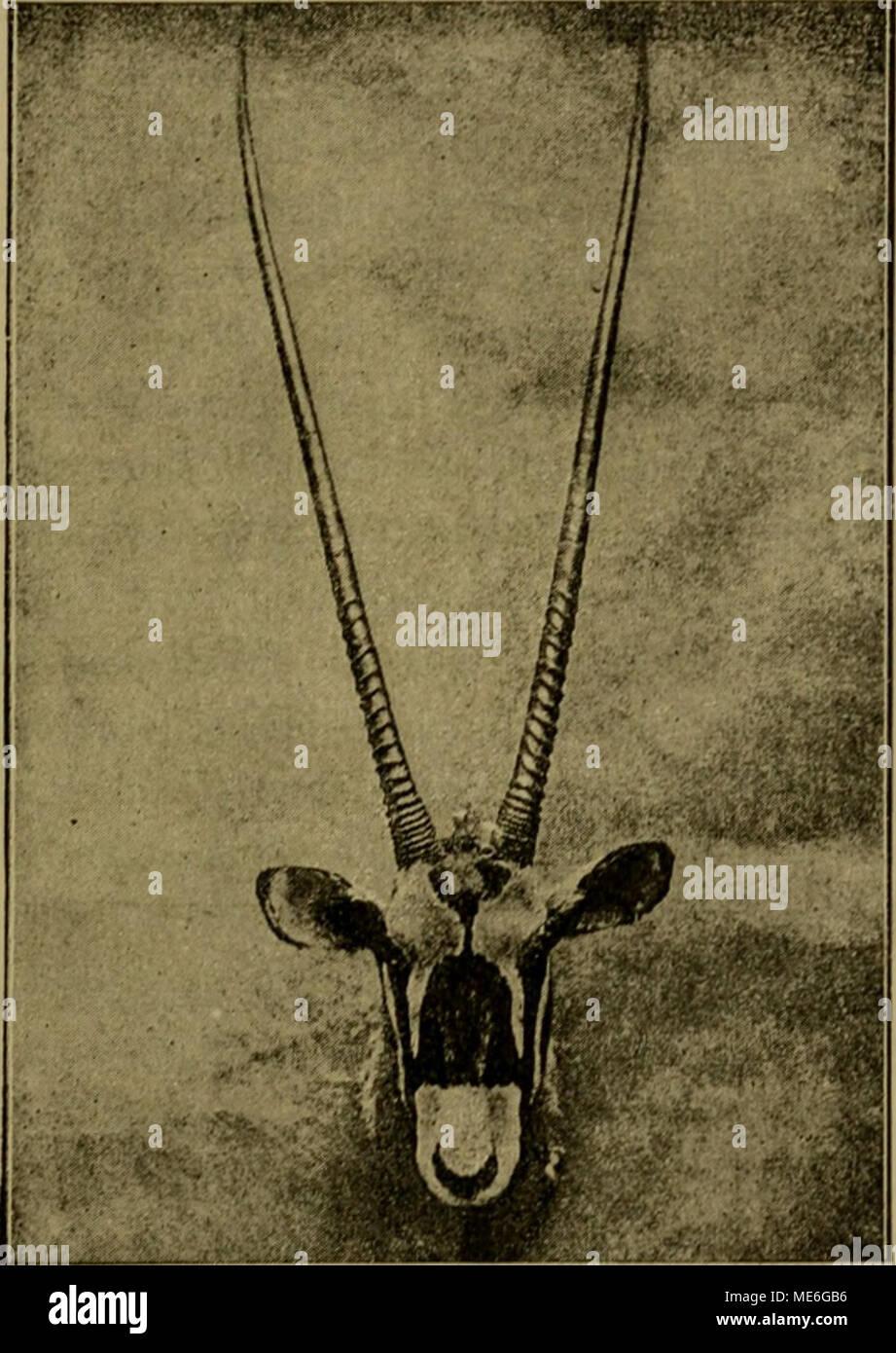 . Die geographische Verbreitung und geologische Entwickelung der Säugetiere . l'ig. 0». Kojif der Oryxantilope ((/ryxj. vertretene Gattung, die durch die geraden oder nur schwach gebogenen und nur an der Basis geringelten schlanken Hörner charakterisiert ist, ist über alle Wüstengegenden von Afrika, Arabien und Syrien verbreitet. Die Mehr- zahl der Arten sind allerdings auf Aethiopien beschränkt. - Stock Image