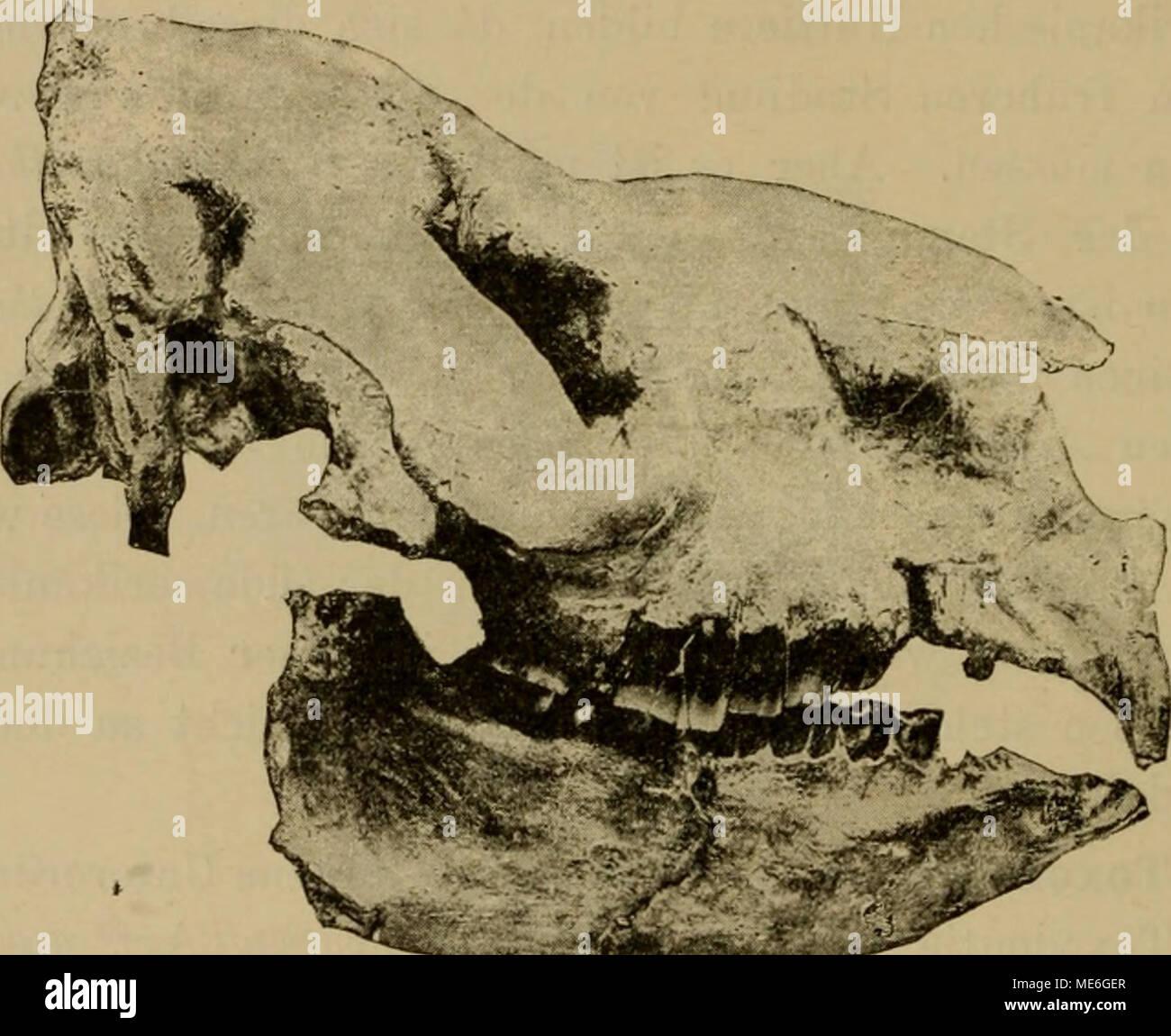 . Die geographische Verbreitung und geologische Entwickelung der Säugetiere . denen aller lebenden Huftiere dadurch unterscheiden, dass sie sämtlich während des ganzen Lebens der Tiere wachsen, ohne jemals Wurzeln zu bilden. Die Schneide- zähne sind meisselförmig und haben daher in der Form, wenn auch nicht in der Zahl, Aehnlichkeit mit den ent- sprechenden Zähnen eines Bibers oder eines Kaninchens. Ueberhaupt erinnert das Gebiss dieser Tiere durch seinen Bau im allgemeinen sowie durch den Mangel von Wurzeln Stock Photo