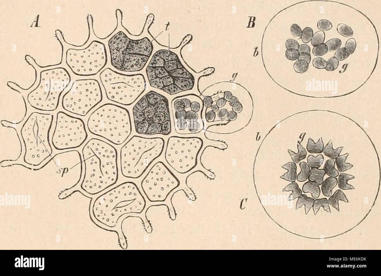 . Die Natürlichen Pflanzenfamilien nebst ihren Gattungen und wichtigeren Arten, insbesondere den Nutzpflanzen, unter Mitwirkung zahlreicher hervorragender Fachgelehrten begründet . Fig. 41. Pediastrum Boryanum (Turp.) Menegli. ß rjranulatuni (Kütz.) A. Br. A eine aus verwachsenen Zellen bestehende Scheibe ; bei (j tritt soeben die innerste Hantschicht einer Zelle hervor, sie enthält die durch Teilung des Protoplasmas entstandenen Tochterzellen; bei t verschiedene Teilungszustände der Zellen; sp die Spalte in den bereits entleerten Zellhäuten. B die ganz ausgetretene innere Lamelle der Mutterze - Stock Image
