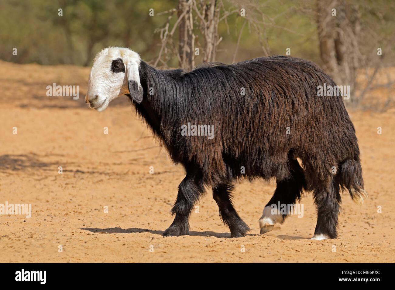 Arabian Nadji - domestic sheep breed of the Najd region of the Arabian Peninsula Stock Photo