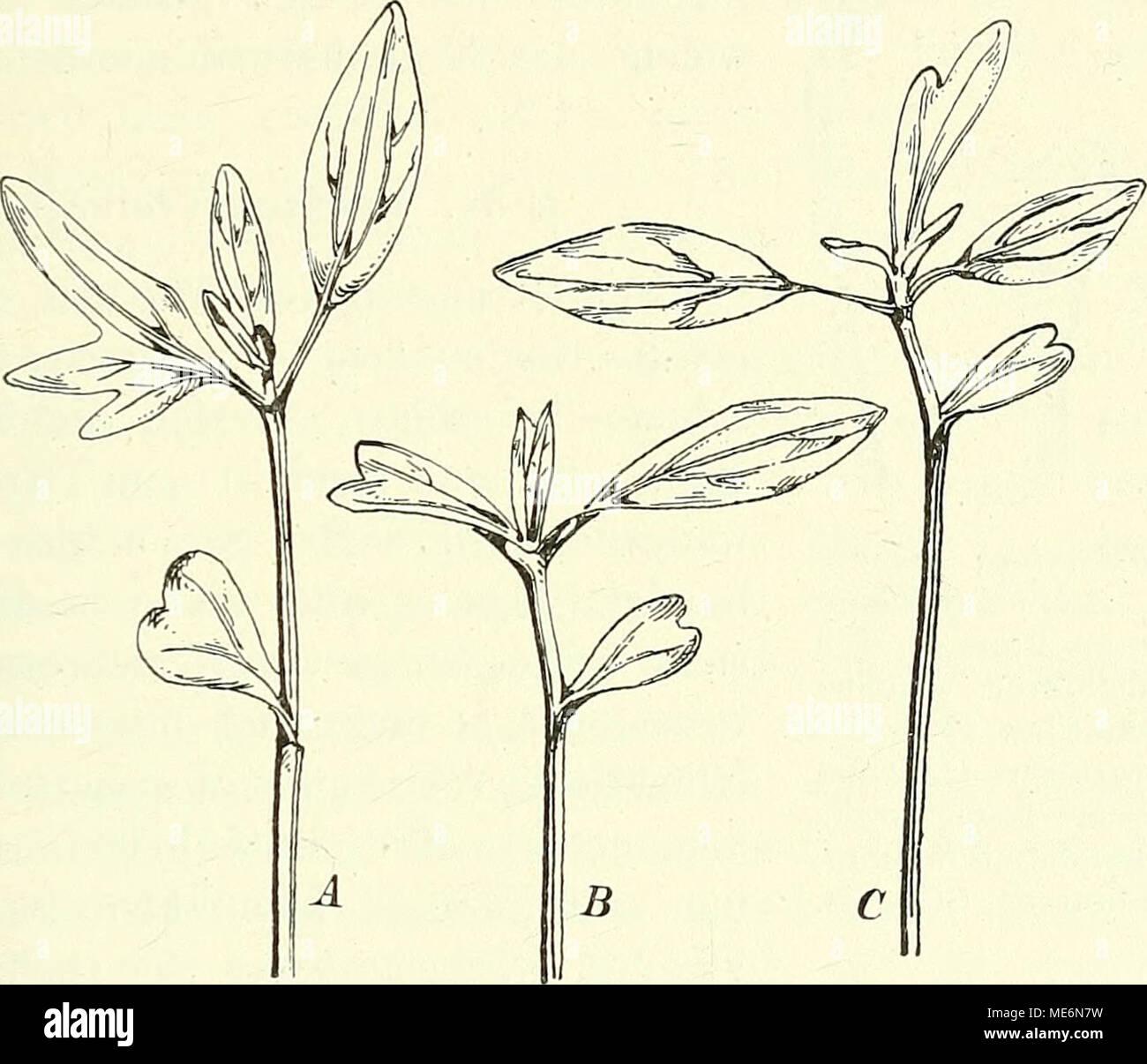. Die mutationstheorie. Versuche und beobachtungen über die entstehung von arten im pflanzenreich . Fig. 67. Helianthus annuus syncotyleus. Die ersten Blätter syncotyler Keimpflanzen. A Ein Blatt des ersten Paares dreigabelig, oberhalb des Syncotyls. B Zweigabeliges Blatt, dem Syncotyl entgegengesetzt. C Zweigabeliges Blatt oberhalb des ersten Blattwirteis. hältniss von 87 : 80 °/0 im Mittel für je etwa 12 Pflanzen. Erntet man die Samen einer einzelnen Inflorescenz in drei Abtheilungen, indem man die äusseren und inneren von dem mittleren Kreise trennt, so enthalten die ersteren häufig etwas m Stock Photo